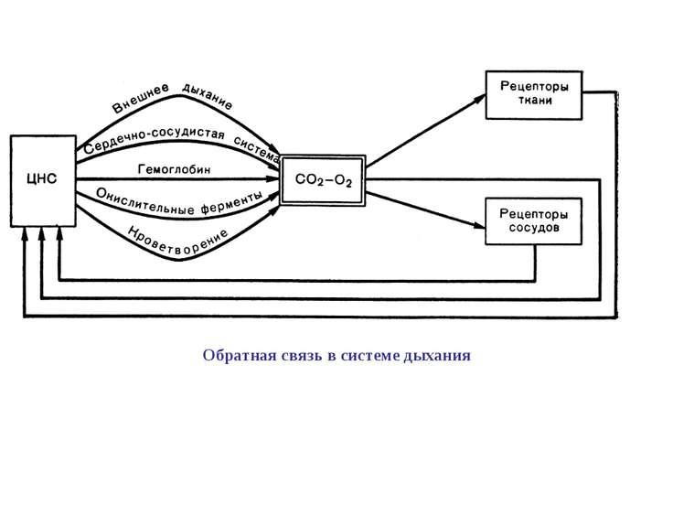 Обратная связь в системе дыхания
