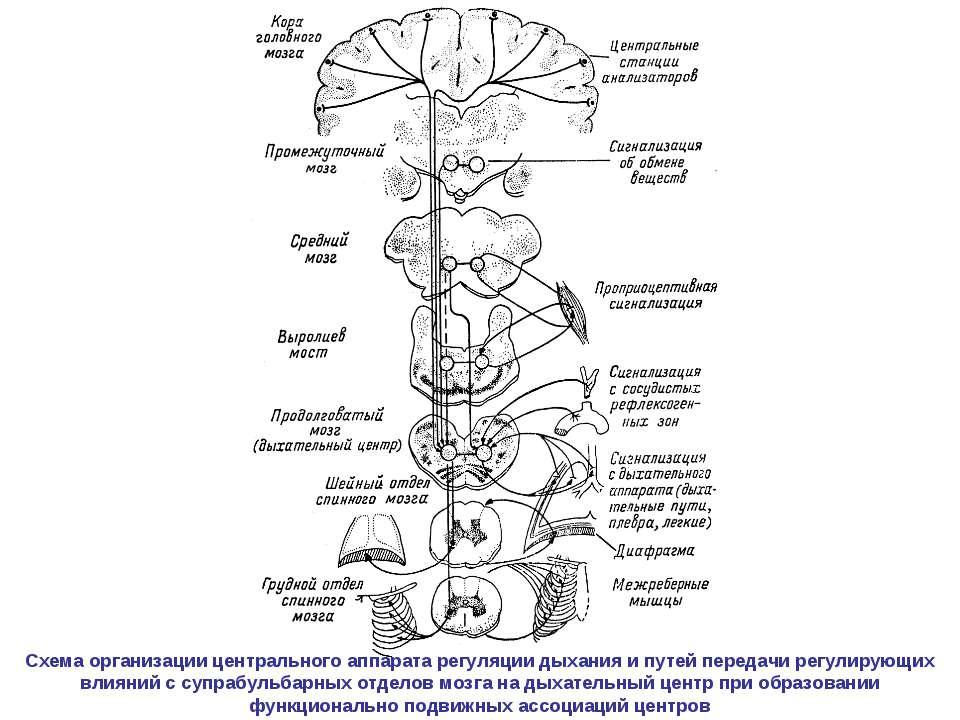 Схема организации центрального аппарата регуляции дыхания и путей передачи ре...