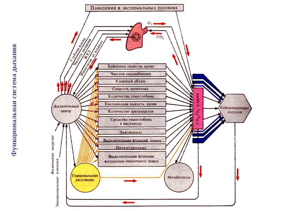 Функциональная система дыхания