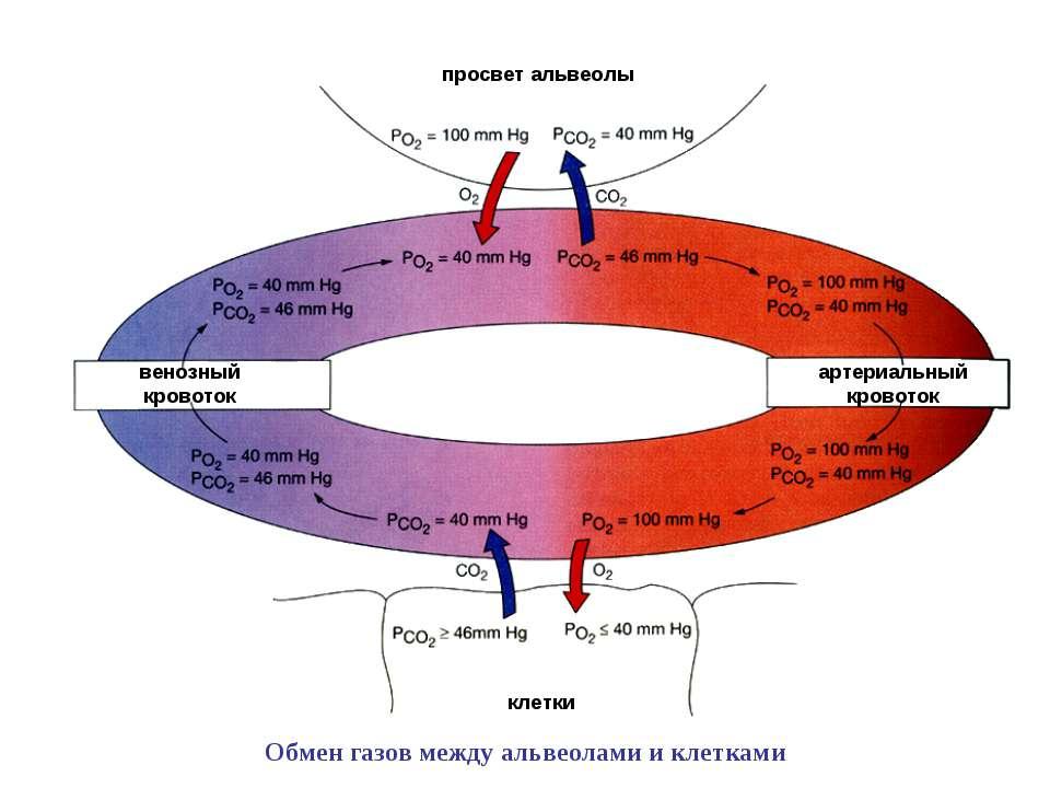 венозный кровоток артериальный кровоток клетки просвет альвеолы Обмен газов м...