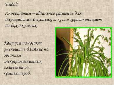 Вывод: Хлорофитум – идеальное растение для выращивания в классах, т.к. оно хо...