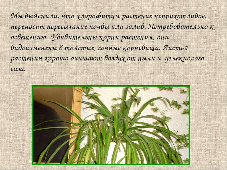 Мы выяснили, что хлорофитум растение неприхотливое, переносит пересыхание поч...