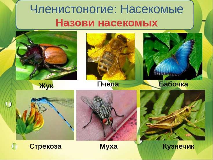 Членистоногие: Насекомые Назови насекомых Жук Пчела Бабочка Стрекоза Муха Куз...