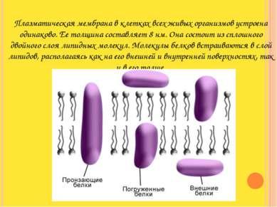 Плазматическая мембрана в клетках всех живых организмов устроена одинаково. Е...