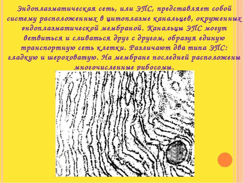 Эндоплазматическая сеть, или ЭПС, представляет собой систему расположенных в ...