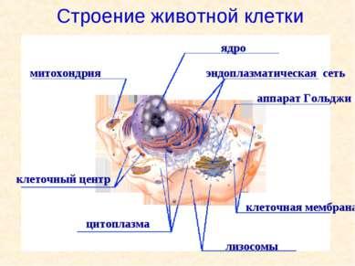митохондрия ядро аппарат Гольджи цитоплазма лизосомы эндоплазматическая сеть ...