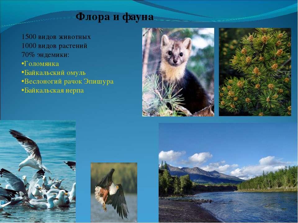 Флора и фауна 1500 видов животных 1000 видов растений 70% эндемики: Голомянка...