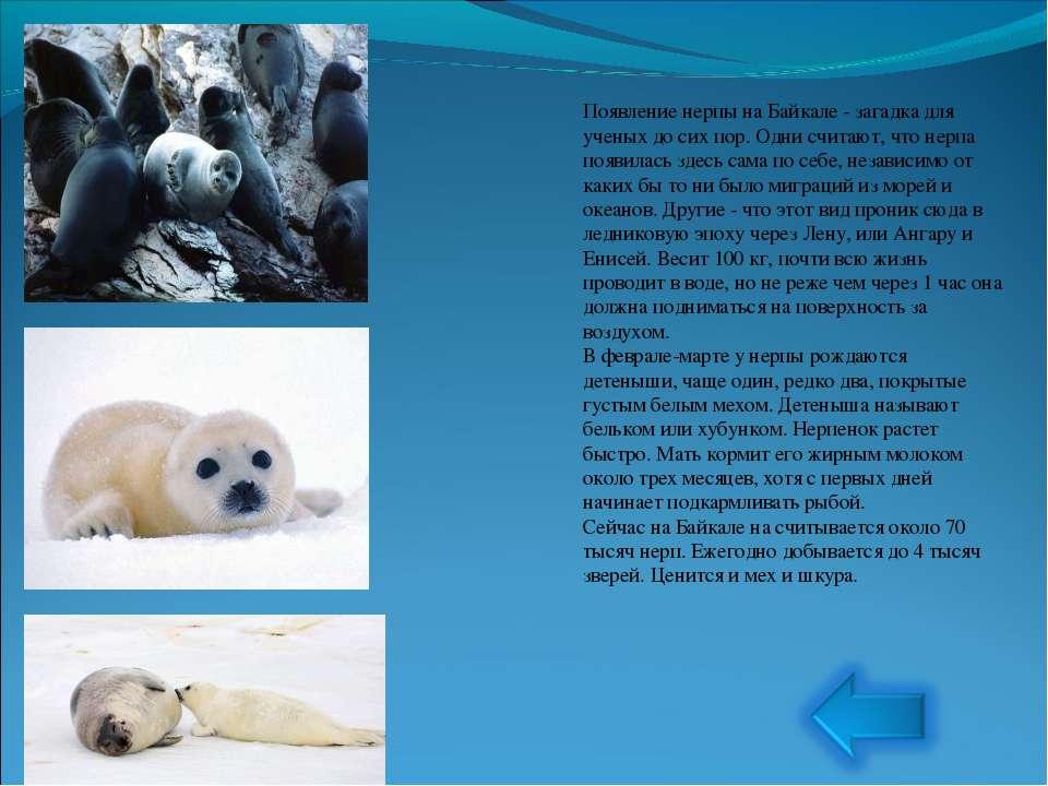 Появление нерпы на Байкале - загадка для ученых до сих пор. Одни считают, что...