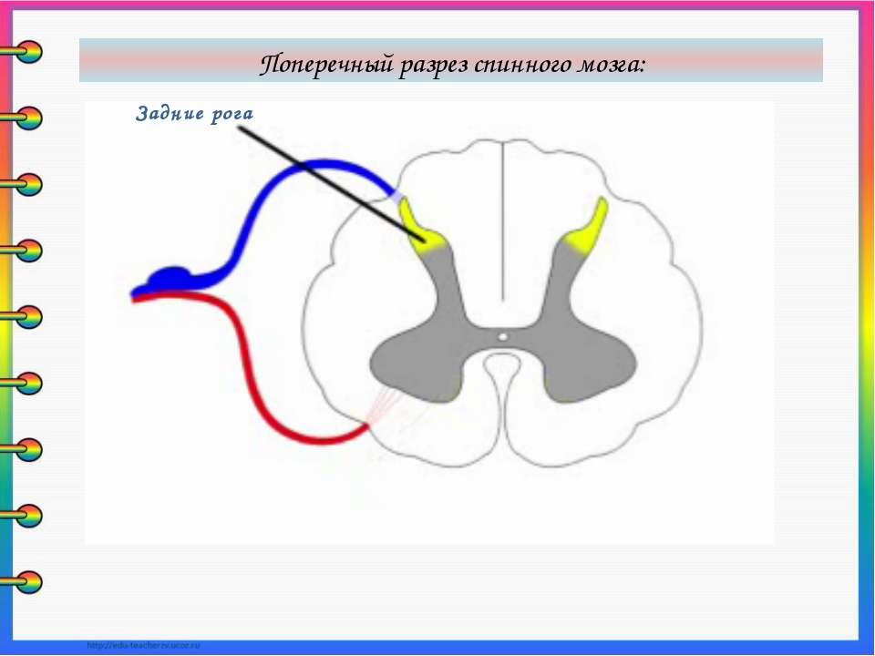 Задние рога Поперечный разрез спинного мозга: