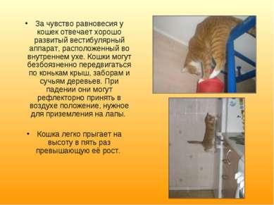 За чувство равновесия у кошек отвечает хорошо развитый вестибулярный аппарат,...