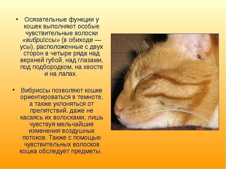 Осязательные функции у кошек выполняют особые чувствительные волоски «вибри с...