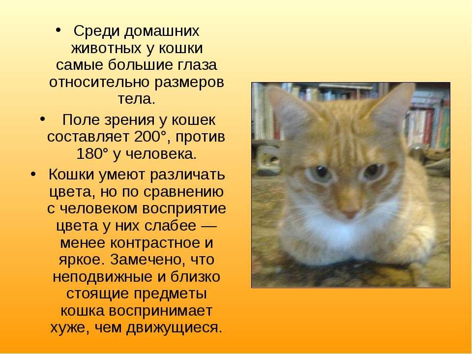 Среди домашних животных у кошки самые большие глаза относительно размеров тел...