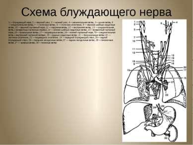 Схема блуждающего нерва 1 — блуждающий нерв; 2 — верхний узел;3 —нижний узе...