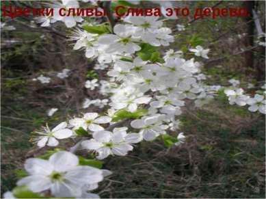 Цветки сливы. Слива это дерево.