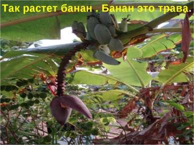 Так растет банан . Банан это трава.