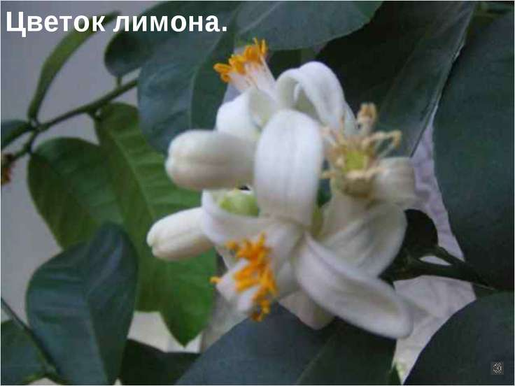Цветок лимона.