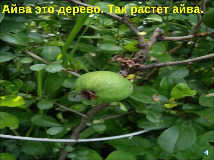 Айва это дерево. Так растет айва.