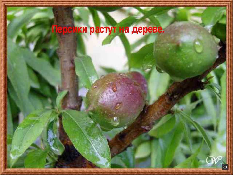 Персики растут на дереве.
