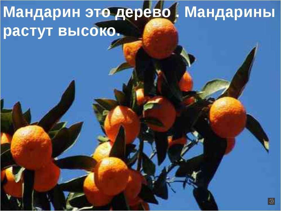 Мандарин это дерево . Мандарины растут высоко.