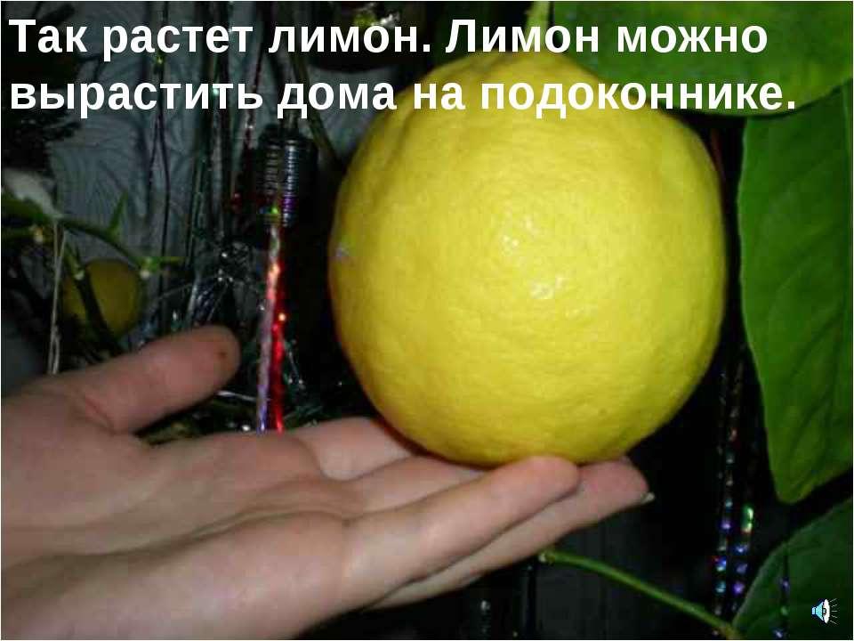 Так растет лимон. Лимон можно вырастить дома на подоконнике.