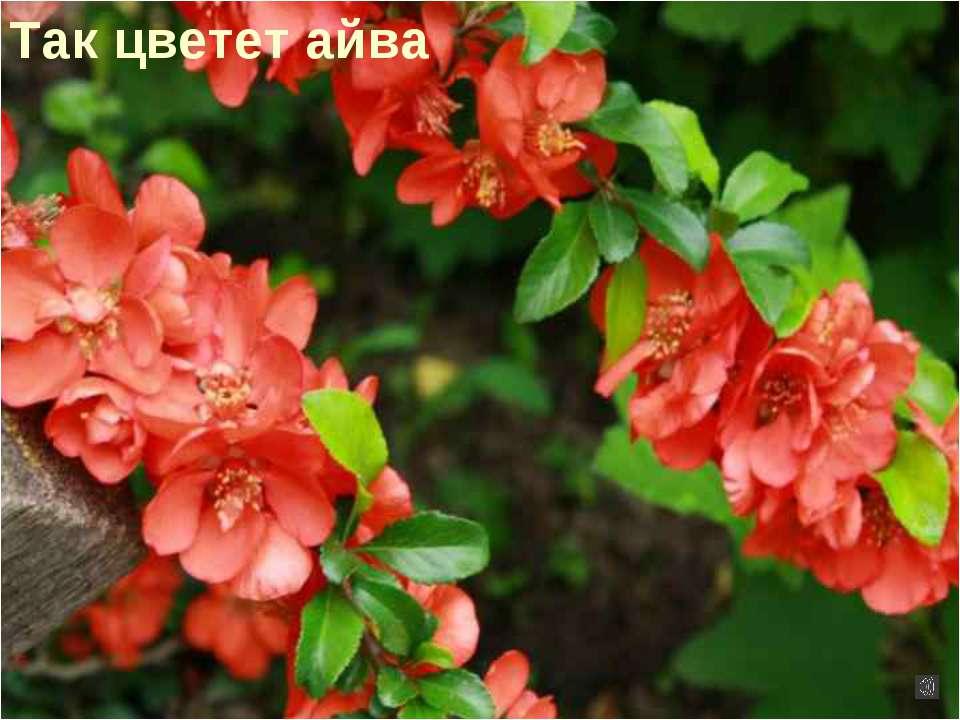 Так цветет айва