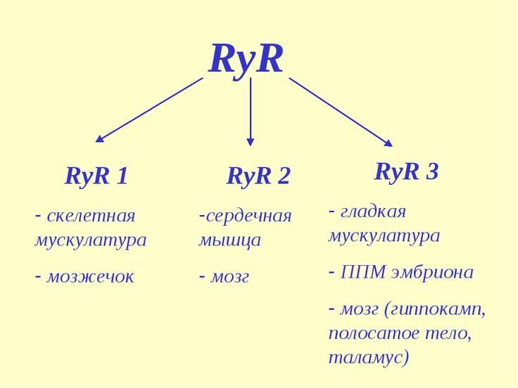 RyR RyR 1 скелетная мускулатура мозжечок RyR 2 сердечная мышца мозг RyR 3 гла...
