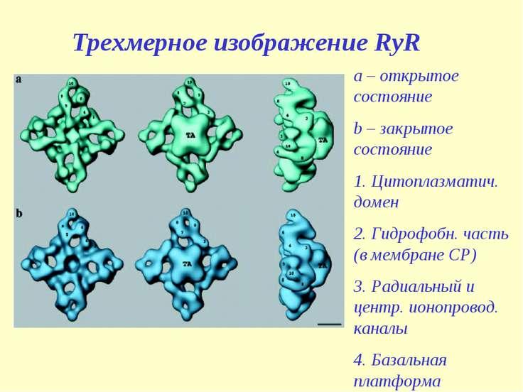 Трехмерное изображение RyR a – открытое состояние b – закрытое состояние 1. Ц...
