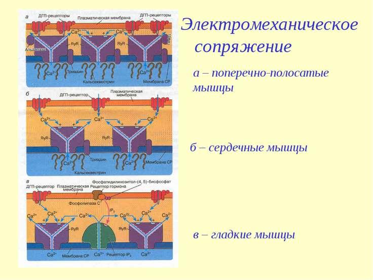 а – поперечно-полосатые мышцы б – сердечные мышцы в – гладкие мышцы Электроме...