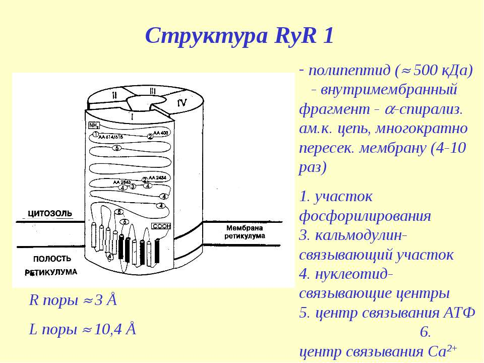Структура RyR 1 полипептид ( 500 кДа) - внутримембранный фрагмент - -спирализ...