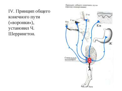 IV. Принцип общего конечного пути («воронки»), установил Ч. Шеррингтон.