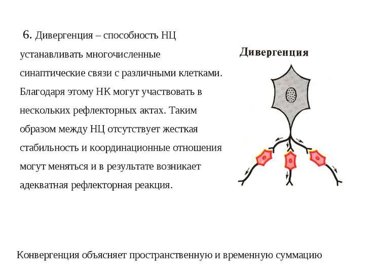 6. Дивергенция – способность НЦ устанавливать многочисленные синаптические св...