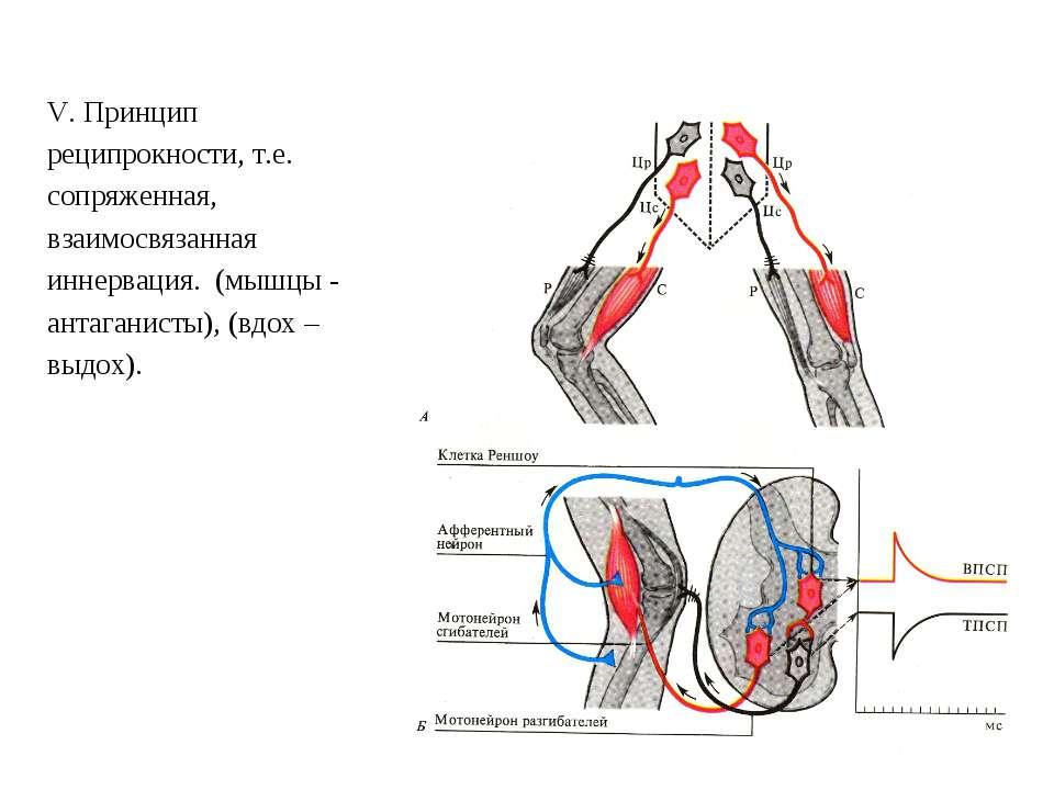 V. Принцип реципрокности, т.е. сопряженная, взаимосвязанная иннервация. (мышц...