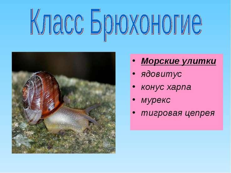Морские улитки ядовитус конус харпа мурекс тигровая цепрея