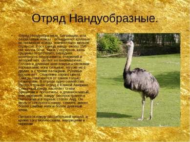 Отряд Нандуобразные. Отряд Нандуобразные, Бегающие, или Бескилевые птицы - об...