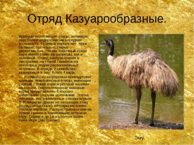 Отряд Казуарообразные. Крупные нелетающие птицы, имеющие еще более недоразвит...