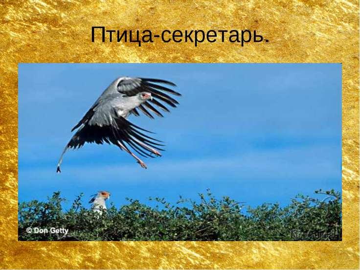 Птица-секретарь.