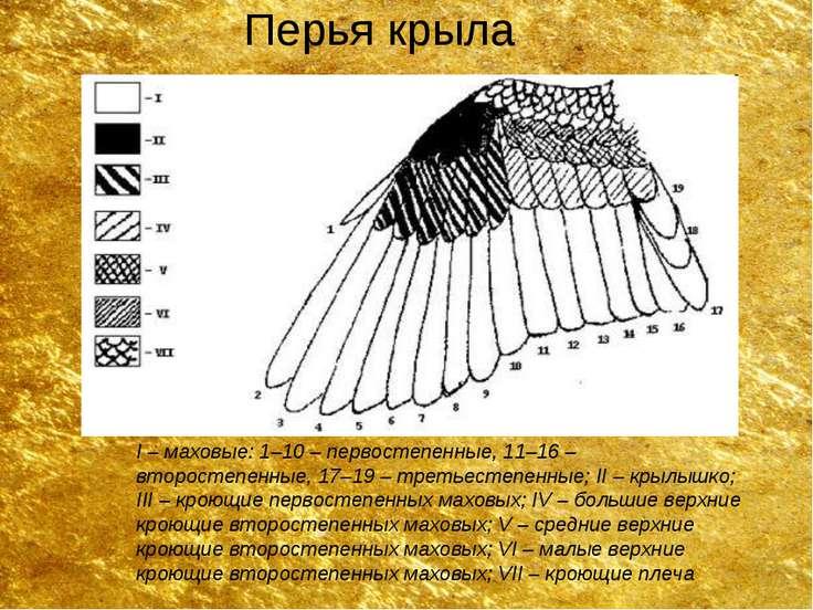 Перья крыла I – маховые: 1–10 – первостепенные, 11–16 – второстепенные, 17–19...