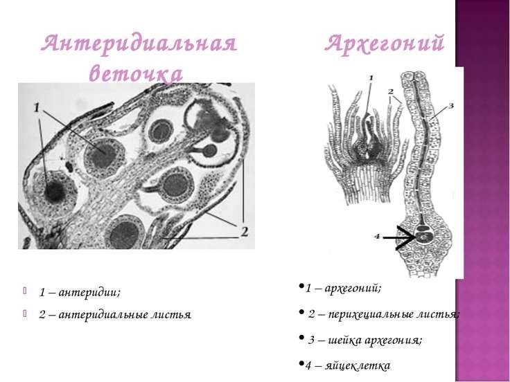 1 – антеридии; 2 – антеридиальные листья Архегоний Антеридиальная веточка 1 –...