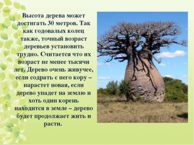Высота дерева может достигать 30 метров. Так как годовалых колец также, точны...