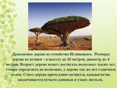 Драконовое дерево из семейства Иглицевыех. Размеры дерева не велики – в высот...