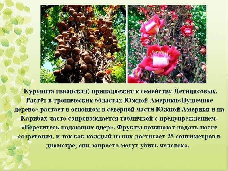 (Курупита гвианская) принадлежит к семейству Летицисовых. Растёт в тропически...