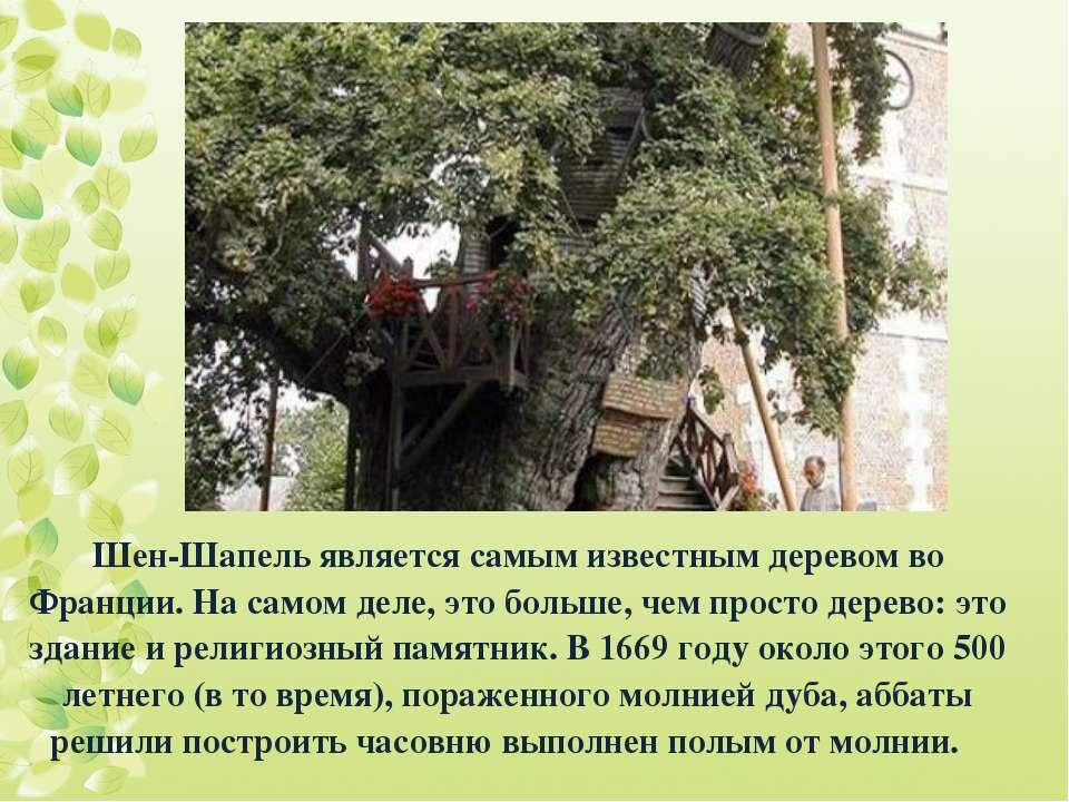 Шен-Шапель является самым известным деревом во Франции. На самом деле, это бо...