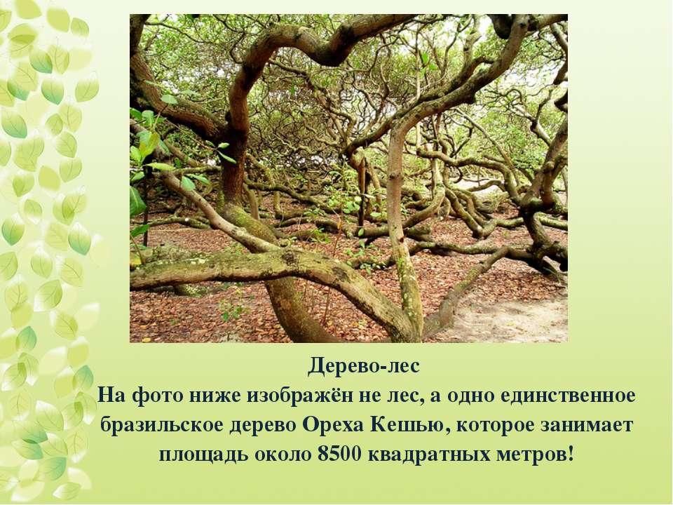 Дерево-лес На фото ниже изображён не лес, а одно единственное бразильское дер...