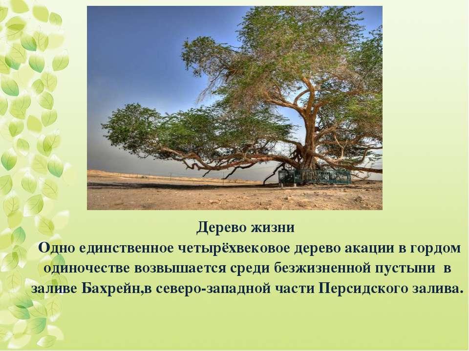 Дерево жизни Одно единственное четырёхвековое дерево акации в гордом одиночес...