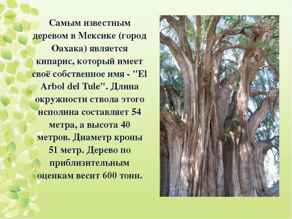 Самым известным деревом в Мексике (город Оахака) является кипарис, который им...