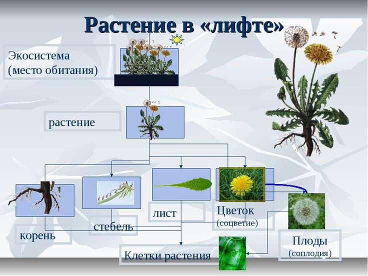 Растение в «лифте» корень стебель лист Цветок (соцветие) растение Экосистема ...