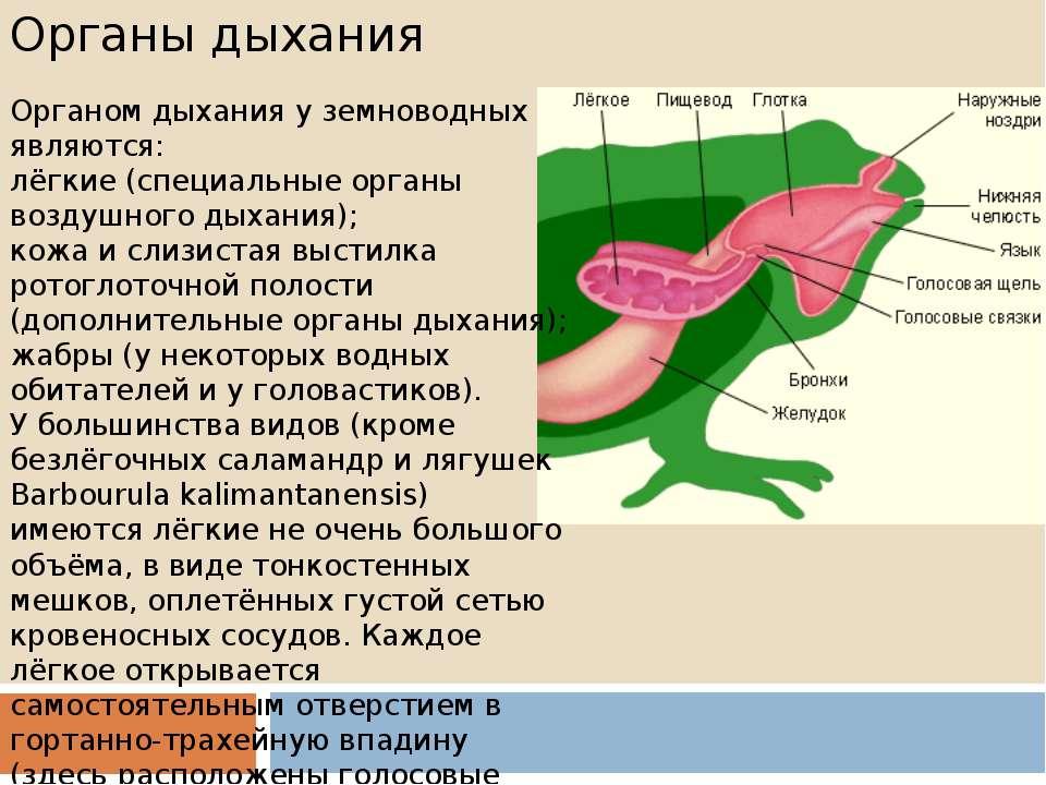 Органы дыхания Органом дыхания у земноводных являются: лёгкие (специальные ор...
