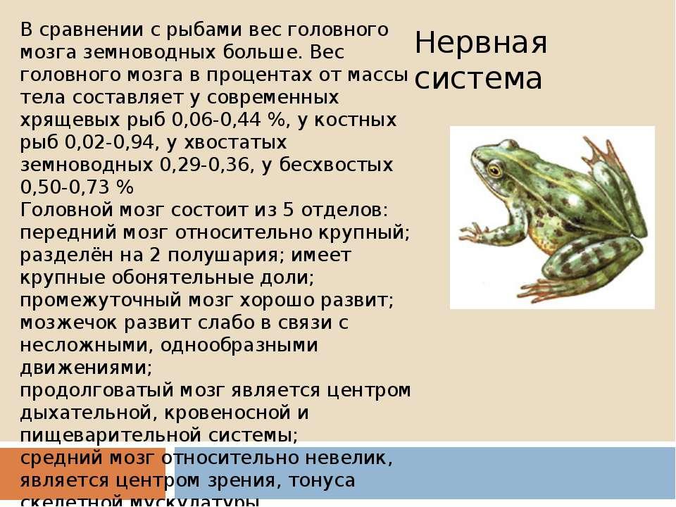 В сравнении с рыбами вес головного мозга земноводных больше. Вес головного мо...