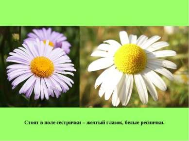 Стоят в поле сестрички – желтый глазок, белые реснички.