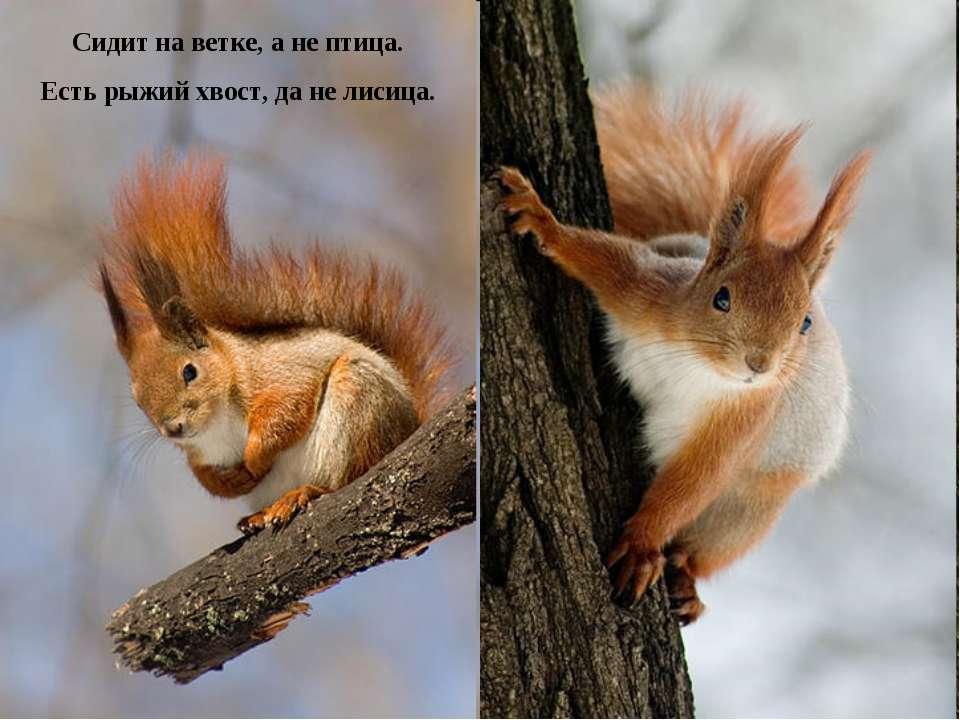 Сидит на ветке, а не птица. Есть рыжий хвост, да не лисица.